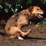 Глисты у собак: симптомы и лечение