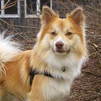 исландские собаки фото