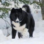 Достоинства медвежьей карельской собаки