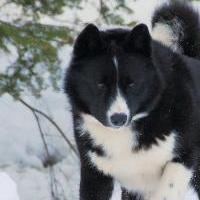 медвежьей карельской собаки фото