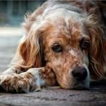 Микоплазмоз у собаки: симптомы и лечение