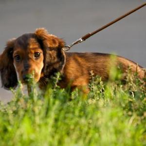 стоит ли и как приучать щенка ходить на пеленку фото