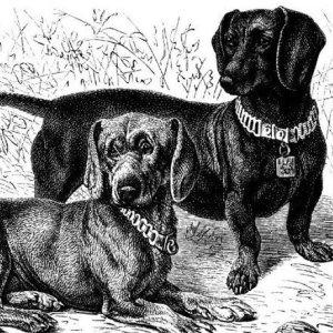 Бесстрашная и верная такса: описание породы