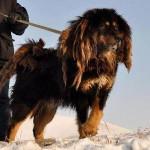 Проводник в мир мертвых – бурят монгольский волкодав