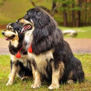бурята монгольский волкодав фото